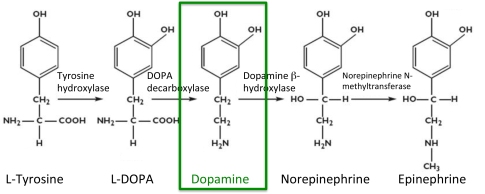 Dopamine.synthesis.2