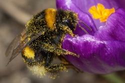 Bumblebee-2009-04-19-01