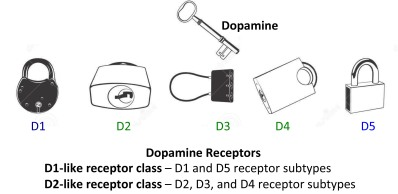 dopamine.receptors.150803