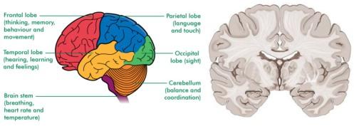 Brain.anatomy.150803