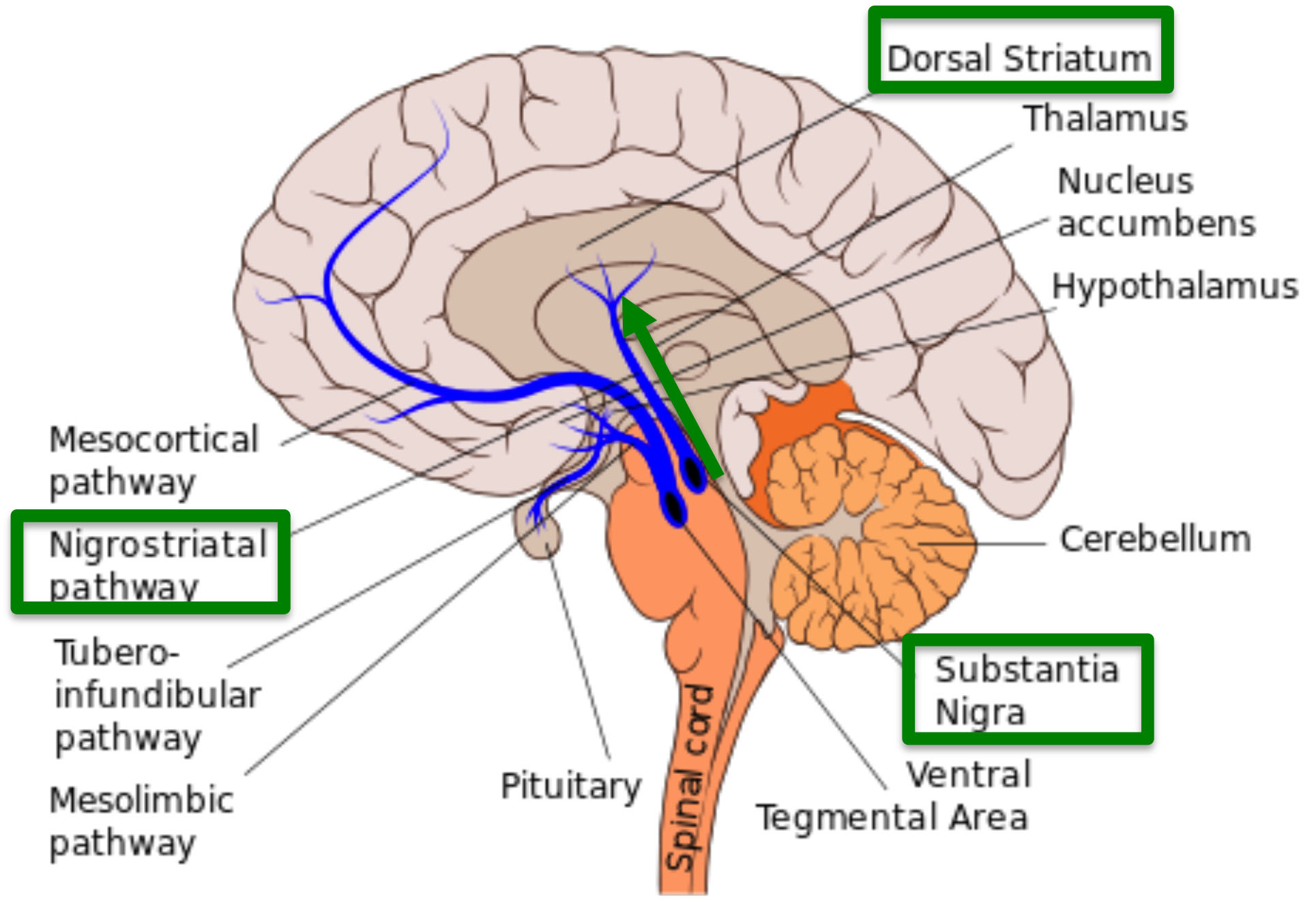 Nigrostriatal.pathway – Journey with Parkinson\'s