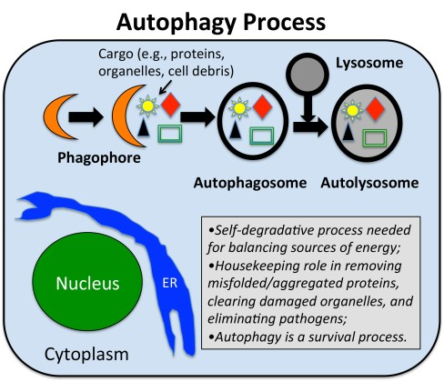 AutophagyScheme.151129